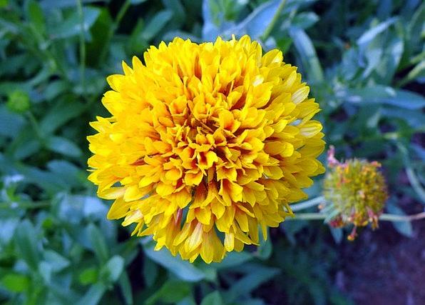 Chrysanthemum Floret Yellow Creamy Flower Sevanthi