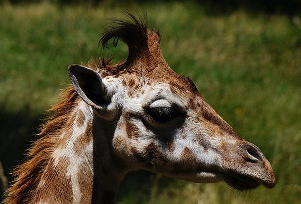 Giraffe Physical Zoo Menagerie Animal Portrait Rep