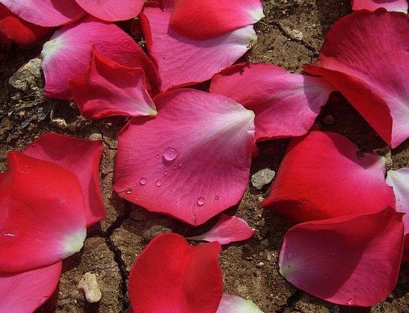 Rose Design Floral Flowery Petals Anniversary Love
