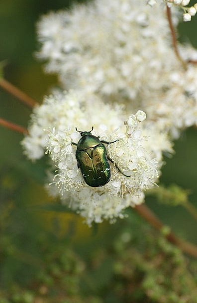 Beetle Bug Mountain Flower Insect Alps
