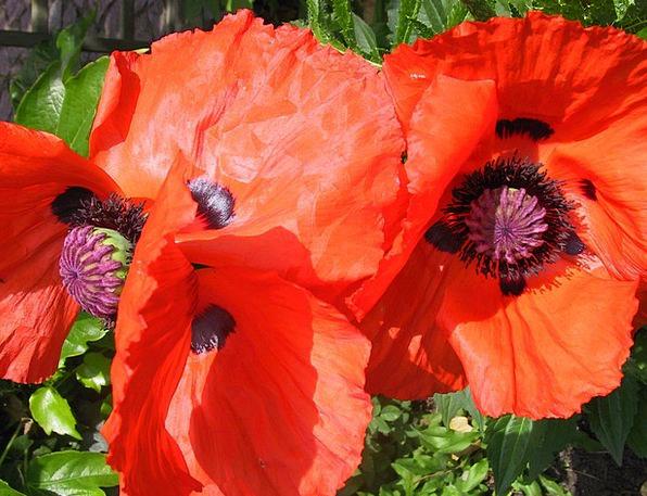 Poppy Floret Spring Coil Flower Orange Carroty Col