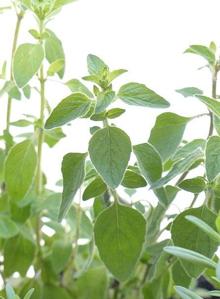 Oregano Interest Herb Basil Spice Meaner Dost Kitc