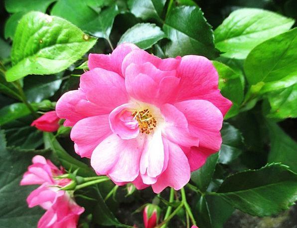Rose Design Scrubland Rose Blooms Bush Beautiful L