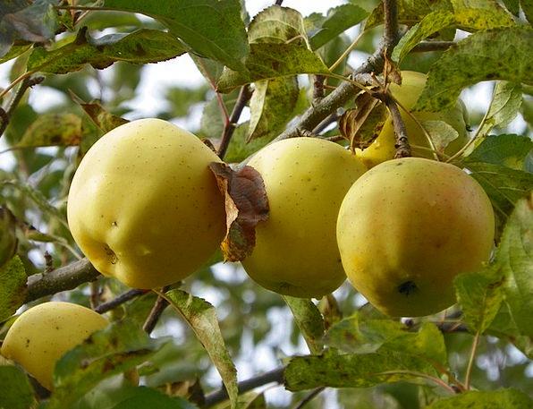 Apples Drink Ovary Food Ripe Ready Fruit Freshness