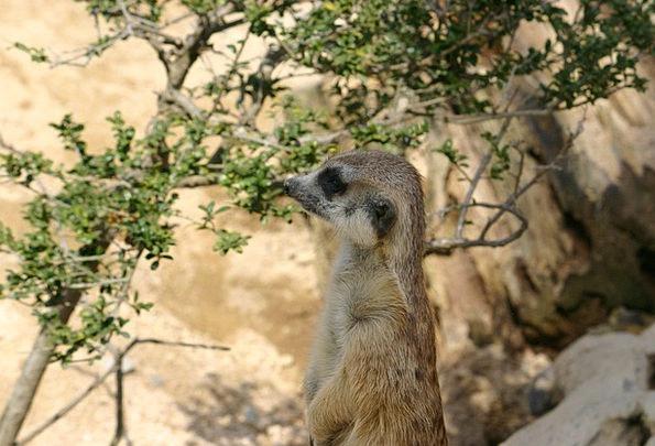 Meerkat Physical Zoo Menagerie Animal