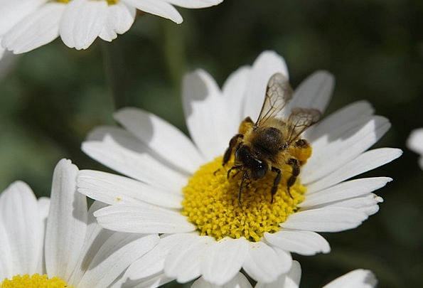 Bee Pollen Collect Pollen Nectar Liquid Food Intak