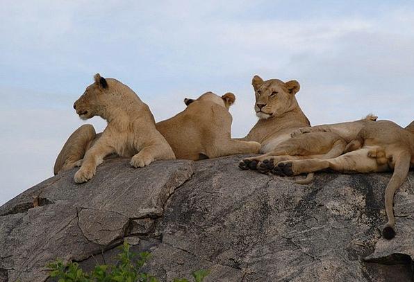 Lions Tanzania Serengeti Fur Africa Pride Lion Wil