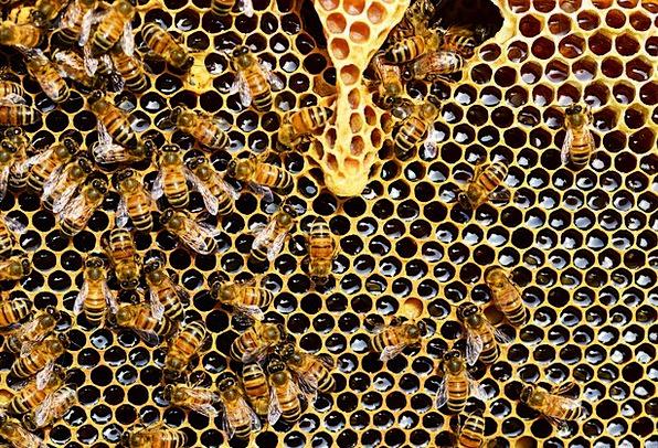 Queen Cup Honey Bee Honeycomb Combs New Queen Rear