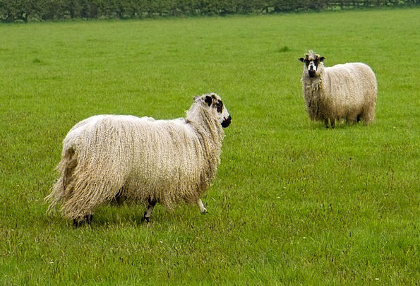 Sheep Ewe Faunae Wool Angora Animals Pasture Meado
