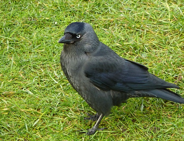Jackdaw Fowl Black Dark Bird Wild Rough Grass Lawn