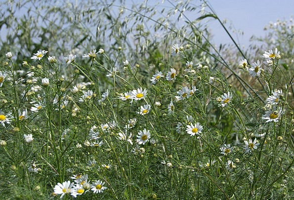 Meadow Field Early Summer Chamomile Flower Grass L
