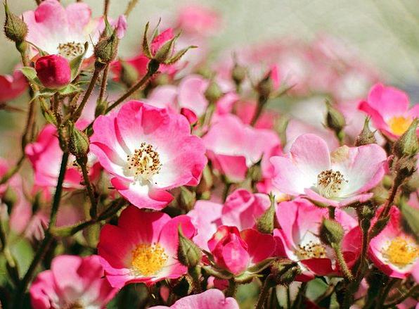 Wild Rose Landscapes Design Nature Flower Floret R