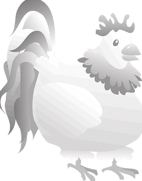Rooster Fowl Grey Old Bird Chicken Feathers Downs
