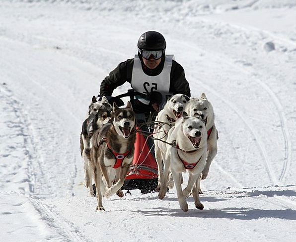 Huskies Canine Animal Physical Dog World Champions