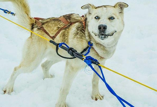 Sled Dogs Dog Sled Alaska Iditarod Sled Bobsled Pu