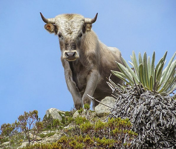 Bull Decree Intimidate Cattle Cows Cow Animal Phys