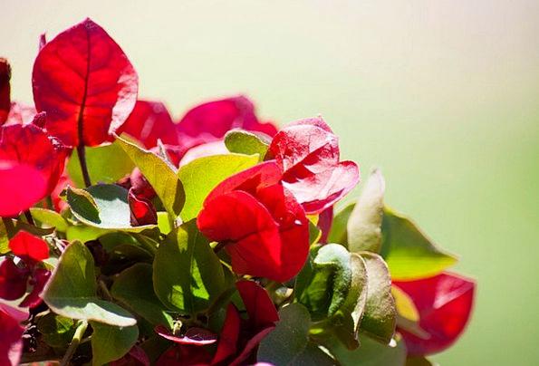 Flowers Plants Landscapes Nature Petals Bougainvil