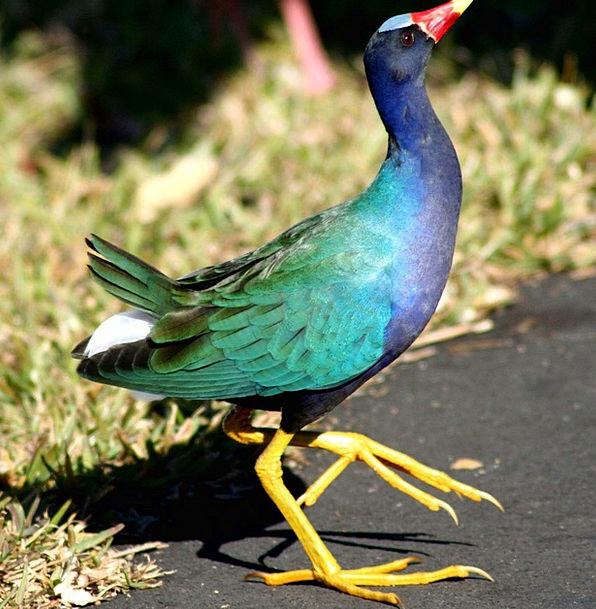 Gallinule Fowl Purple Gallinule Bird Dancing Boppi