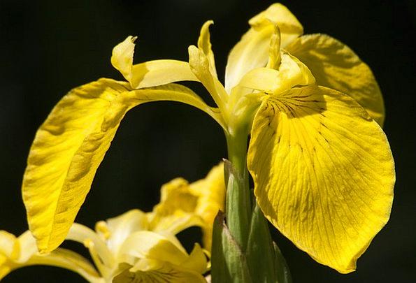 Swamp Iris Landscapes Nature Yellow Iris Iris Pseu