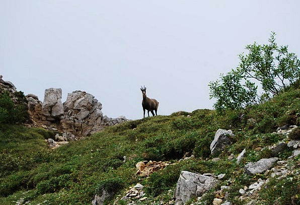 Chamois Landscapes Crag Nature Animal Physical Mou