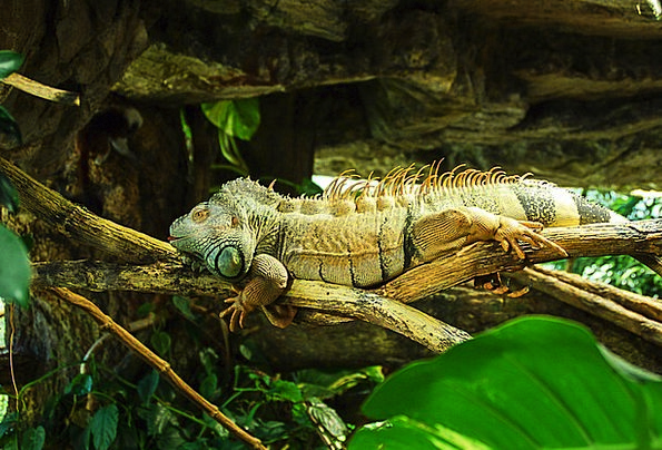 Iguana Iguanidae Reptile Green Lime Dewlap Incite