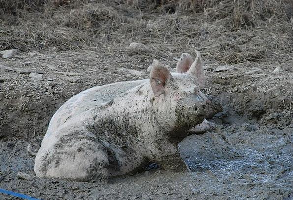Sow Spread Cattle Animals Faunae Pigs Farm Wallow