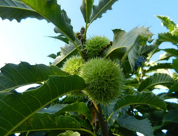 Chestnuts Anecdotes Landscapes Countryside Nature