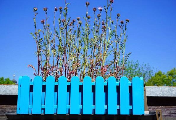 Phacelia Landscapes Floret Nature Flowers Plants F