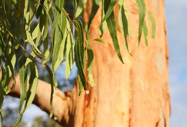 Eucalyptus Landscapes Sapling Nature Leaves Greene