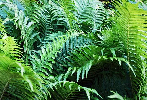 Fern Leaf Landscapes Nature Fern Plant Fiddlehead