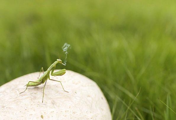 Praying Mantis Bug Green Lime Insect Unnatural Smo