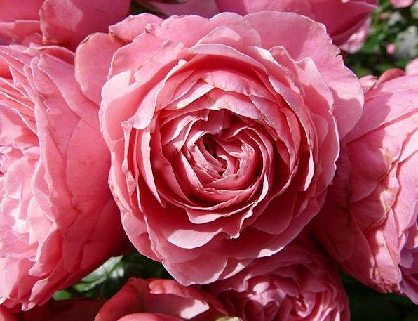 Rose Design Flushed Rose Flower Pink Color Roses D