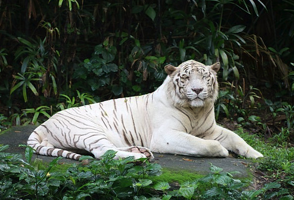 Tiger Snowy Animal Physical White Big Wild Rough N