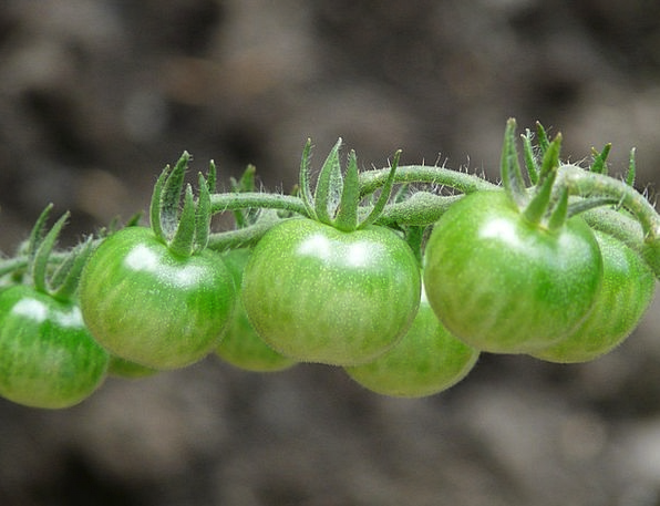 Tomatoes Landscapes Young Nature Green Lime Immatu
