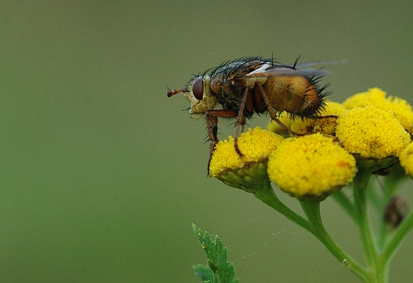 Fly Hover Landscapes Germ Nature Macro Instruction
