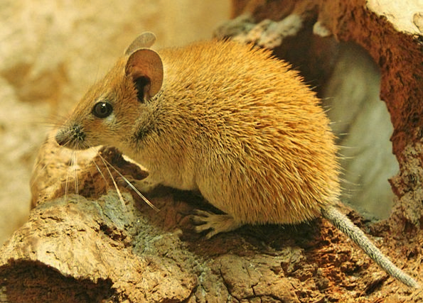 Desert Mouse Animal Physical Mouse Tail Nager Fur