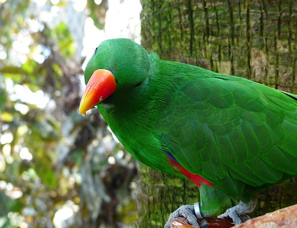 Eclectus-Parrot-Bill-Parrot-Color-Free-Image-Red-O-6537