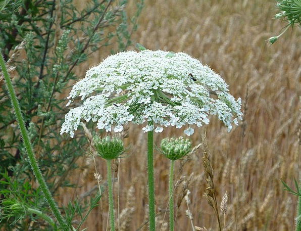 Hercules Herb Landscapes Nature Hogweed Giant Hogw