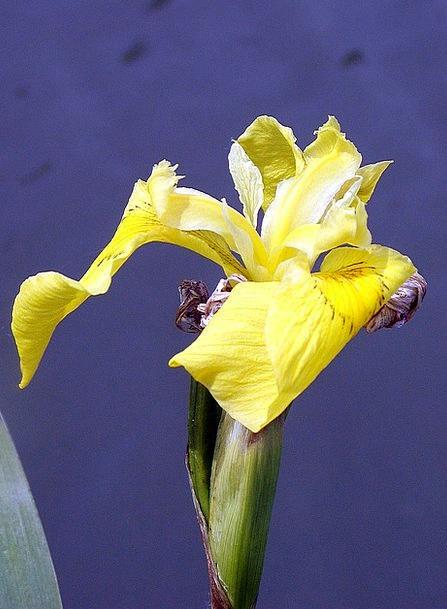 Iris Water Creamy Pond Pool Yellow Bank Set Spring