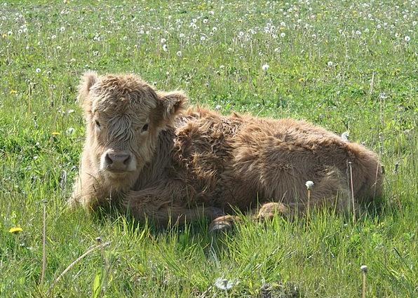Highland Cattle Cows Scottish Highland Cattle Catt