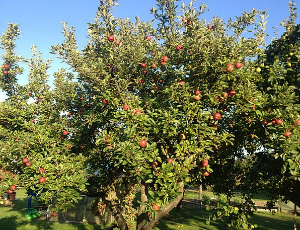 Apple, Landscapes, Nature, Red, Bloodshot, Apple Tree, October
