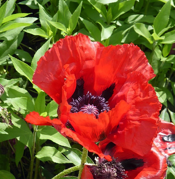 Poppy Flower Floret Klatschmohn Mohngewaechs Red B