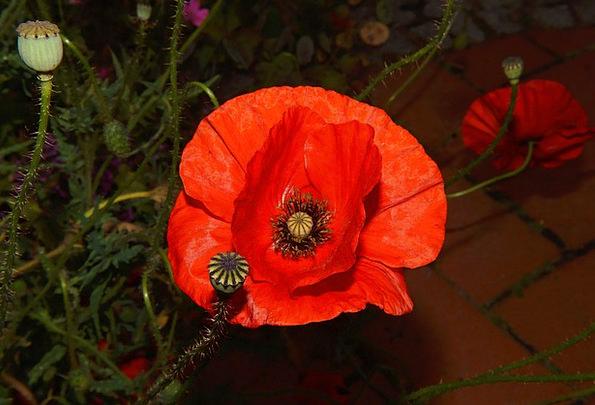 Poppy Floret Red Bloodshot Flower Klatschmohn Colo