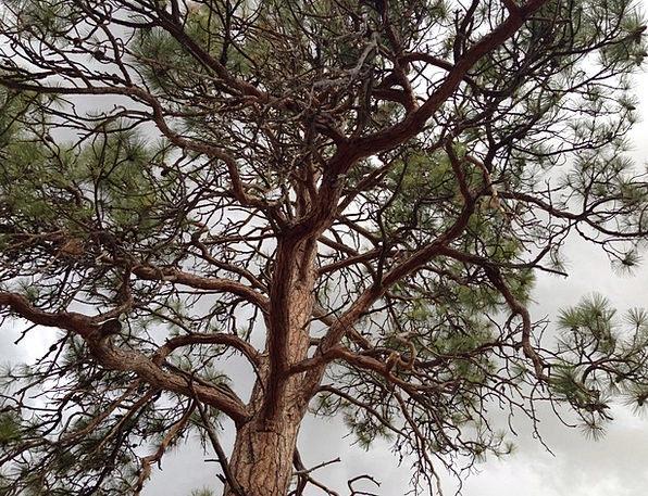Tree Sapling Landscapes Nature Pine Long Ponderosa