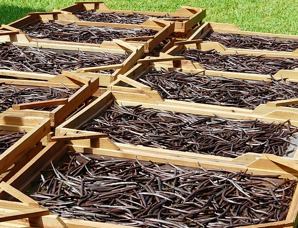 Drying Ventilation Mauritius Vanilla Beans Plantat