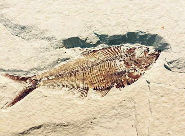 Fossil Relic Fossilization Stone Pebble Petrificat
