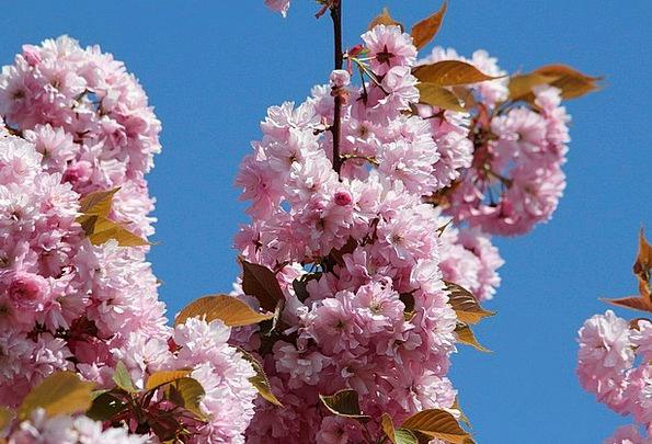 Japanese Cherry Blossom Ornamental Cherry Prunus S