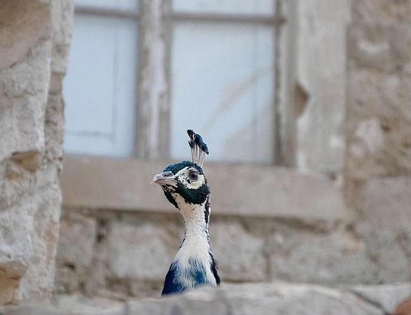 Peacock Showoff Fowl Head Skull Bird Wing Animal P
