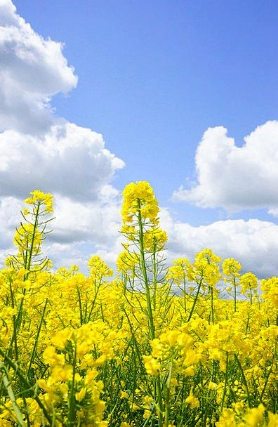 Field Of Rapeseeds Landscapes Blue Nature Clouds V