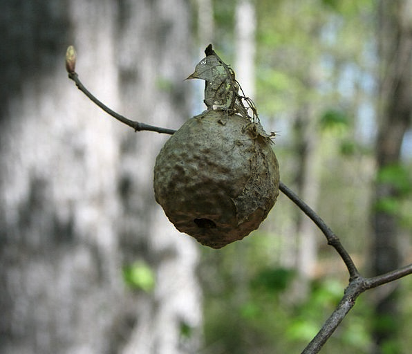 Hornet Shell Insect Bug Nest Hive Store Nature Wil